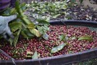 Produção de café conilon deve chegar a 11,14 milhões de sacas no Espírito Santo