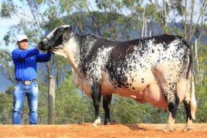 Vaca produz mais de 100 mil quilos de leite e bate recorde no ES; Ortiga está entre as sete do país que atingiram a marca
