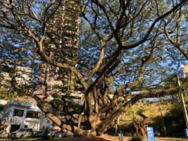 Conheça a história da 'árvore da chuva' do bairro Gilberto Machado, em Cachoeiro