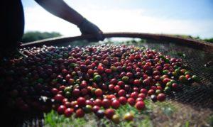 Cooperados da Cafesul são campeões no 7º Torneio do Melhor Café Fairtrade do Brasil