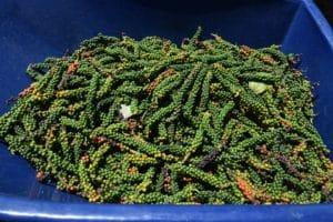 ES lidera produção de pimenta-do-reino no país