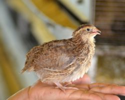 Espírito Santo segue como maior produtor de ovos de galinha e codorna do Brasil
