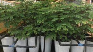 Reprodução por miniestaquia é alternativa para árvores da Mata Atlântica em extinção