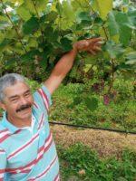 Produção de uvas ganha cada vez mais destaque em Alfredo Chaves