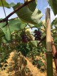 Expansão do Programa de Fruticultura: aberto edital para distribuição de mudas de uva em Linhares