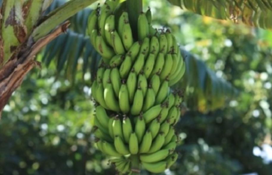 Bananicultores de Linhares esperam aumentar oferta de banana prata em setembro