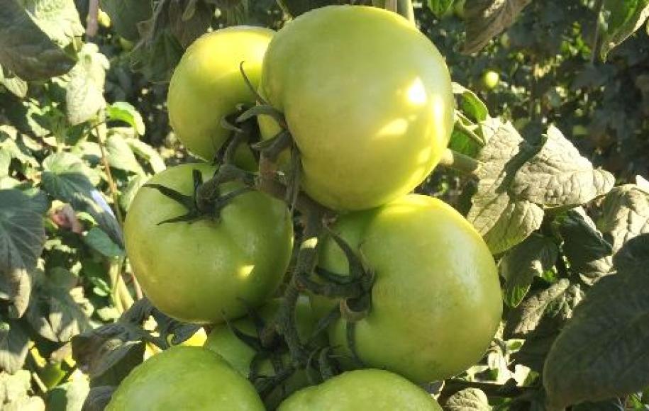 Safra de inverno do tomate atinge o pico